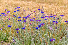 Pasargad blue meadow flowers Stock Photo