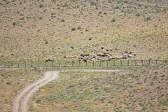 Pasargadae flock av får Fotografering för Bildbyråer