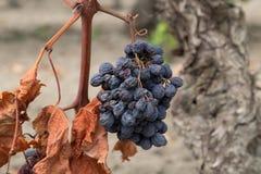 Pasas crudas secas orgánicas en la vid, uvas secadas Foto de archivo libre de regalías