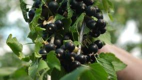 pasas jugosas maduras negras en el jard?n, una baya dulce grande de la pasa La cosecha de la grosella negra es recogida por un gr almacen de metraje de vídeo