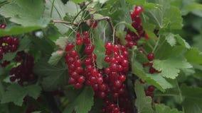 Pasas jugosas maduras rojas en el jardín, una baya dulce grande de la pasa Pasa roja de la cosecha baya sabrosa en la rama almacen de metraje de vídeo
