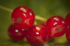 Pasas rojas - grosella espinosa Fotografía de archivo