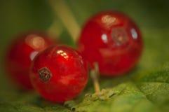Pasas rojas - grosella espinosa Imagen de archivo libre de regalías