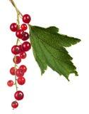 Pasas rojas y hoja verde aisladas en blanco Fotografía de archivo libre de regalías
