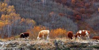 Pascendo in Grassl Fotografia Stock