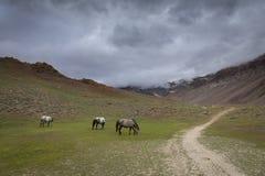 Pascendo i cavalli si avvicinano al lago chandrataal in valle di Spiti Immagine Stock