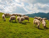 Pascendo il villaggio Sulov - Hradna delle pecore Fotografie Stock Libere da Diritti