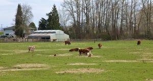 Pascolo le mucche e dei pascoli verdi, l'Oregon. Immagine Stock