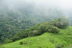 Pascendo le mucche punteggiano i pendii di collina bucolici della provincia di Puntarenas in Costa Rica immagini stock