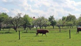 Pascendo le mucche su un campo verde vicino ad una mela sbocciante faccia il giardinaggio stock footage
