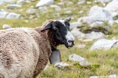 Pascendo le pecore si avvicinano alla bacca Blanc in Alvernia-RhÃ'ne-Alpes in Francia Fotografia Stock