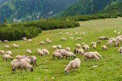 Pascoli alpini nel parco nazionale di Retezat Fotografia Stock