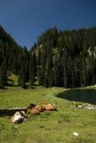 Pascoli con il bestiame nel lago nelle alpi di Julian, SL Immagine Stock Libera da Diritti