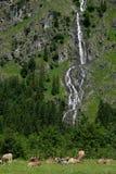 Pascoli con le mucche su un'alpe con la cascata Fotografia Stock Libera da Diritti
