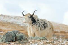 Pascoli dei yak della Mongolia Fotografia Stock Libera da Diritti