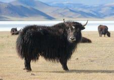 Pascoli dei yak della Mongolia Fotografie Stock