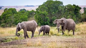 Pascoli di camminata del Kenya Africa della famiglia dell'elefante Fotografia Stock