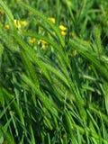 Pascoli l'erba, primo piano, con i fiori gialli Immagine Stock