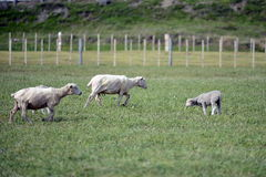 Pascoli per le pecore nel villaggio di Cameron Tierra del Fuego Fotografie Stock Libere da Diritti