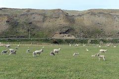 Pascoli per le pecore nel villaggio di Cameron Tierra del Fuego Fotografia Stock