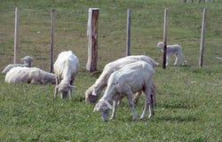 Pascoli per le pecore nel villaggio di Cameron Tierra del Fuego Fotografia Stock Libera da Diritti