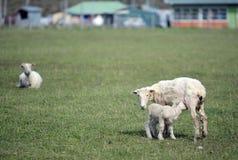 Pascoli per le pecore nel villaggio di Cameron Tierra del Fuego Fotografie Stock