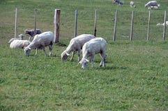 Pascoli per le pecore nel villaggio di Cameron Tierra del Fuego Immagini Stock