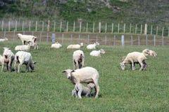Pascoli per le pecore nel villaggio di Cameron Tierra del Fuego Immagini Stock Libere da Diritti