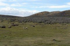 Pascoli per le pecore nel villaggio di Cameron Tierra del Fuego Immagine Stock Libera da Diritti