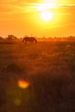 Pascolo al tramonto fotografia stock