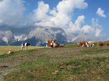 Pascolo alpino con le mucche in priorità alta e nel punto di vista di Sesto Dolomites, Tirolo del sud, Italia nel fondo Fotografia Stock