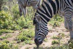 Pascolo alto vicino della zebra Fotografie Stock