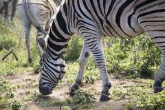 Pascolo alto vicino della zebra Fotografia Stock