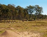 Pascolo australiano di inverno dei bovini da carne Fotografia Stock Libera da Diritti