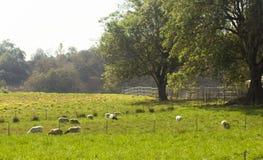 Pascolo con le pecore Fotografia Stock Libera da Diritti