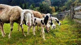 Pascolo degli sheeps immagine stock libera da diritti