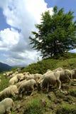 Pascolo degli sheeps Fotografia Stock