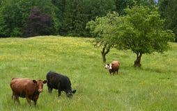 Pascolo dei bovini da carne Immagine Stock