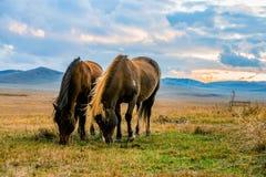Pascolo dei cavalli Immagini Stock Libere da Diritti