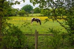 Pascolo dei cavalli Fotografie Stock