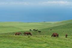Pascolo dei cavalli ai prati di Kohala sulla grande isola delle Hawai Fotografia Stock