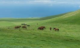 Pascolo dei cavalli ai prati di Kohala sulla grande isola delle Hawai Immagine Stock Libera da Diritti