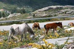 Pascolo dei cavalli lungo una strada spagnola Fotografie Stock