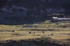 Pascolo dei cavalli nelle alpi svizzere Fotografia Stock Libera da Diritti