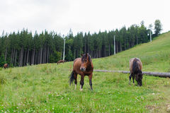 Pascolo dei cavalli su Hillside Immagine Stock