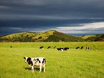 Pascolo dei vitelli Fotografie Stock Libere da Diritti