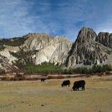 Pascolo dei yak davanti alle formazioni del calcare, il Nepal Fotografia Stock