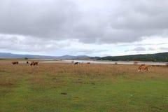Pascolo del al de Vacche Imagen de archivo