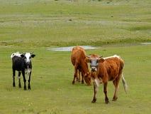 Pascolo del bestiame immagini stock