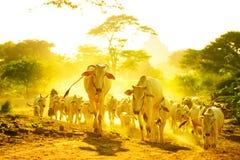 Pascolo del bestiame Immagine Stock Libera da Diritti
